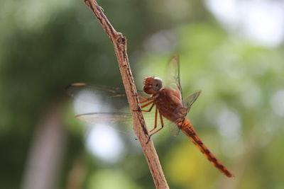 brown dragonfly perched on brown stem in tilt shift lens suriname teams background