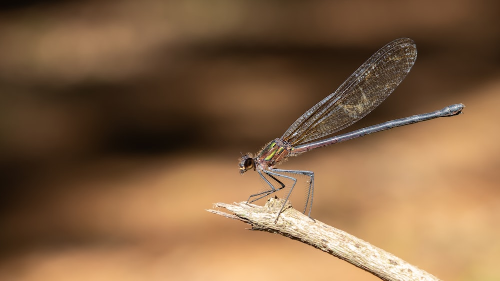 blue damselfly perched on brown wooden stick in close up photography during daytime
