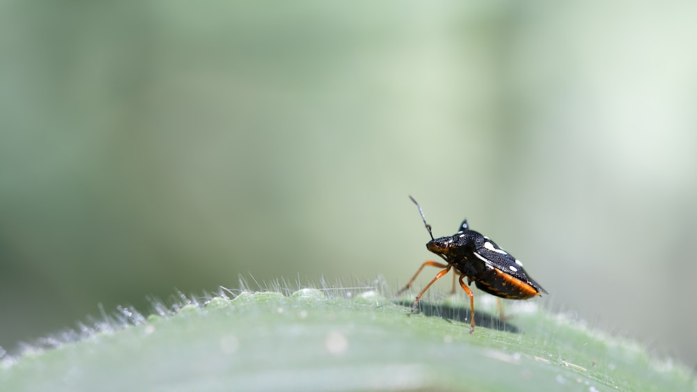 black and orange beetle on green leaf in close up photography during daytime