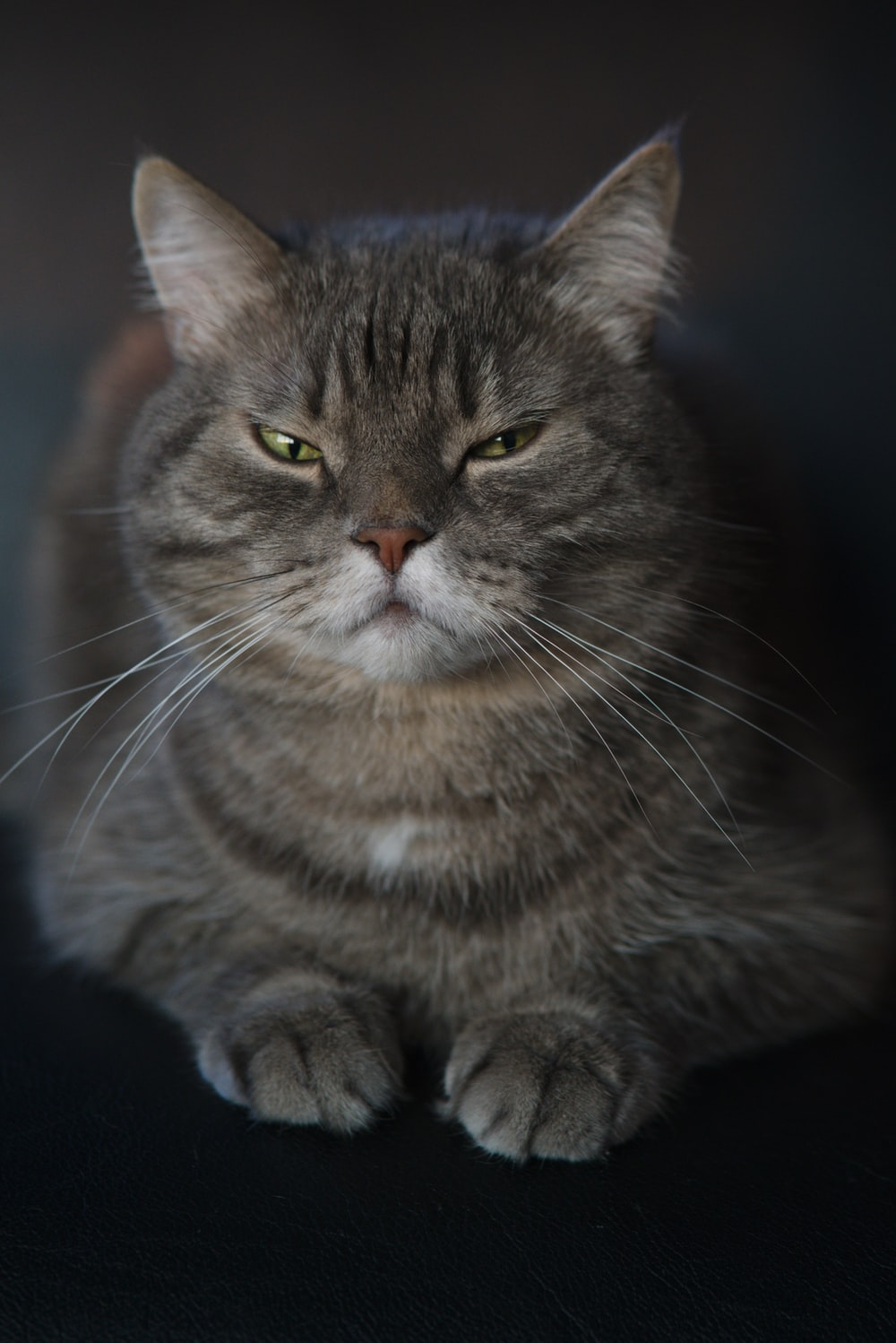 brown tabby cat in blue background