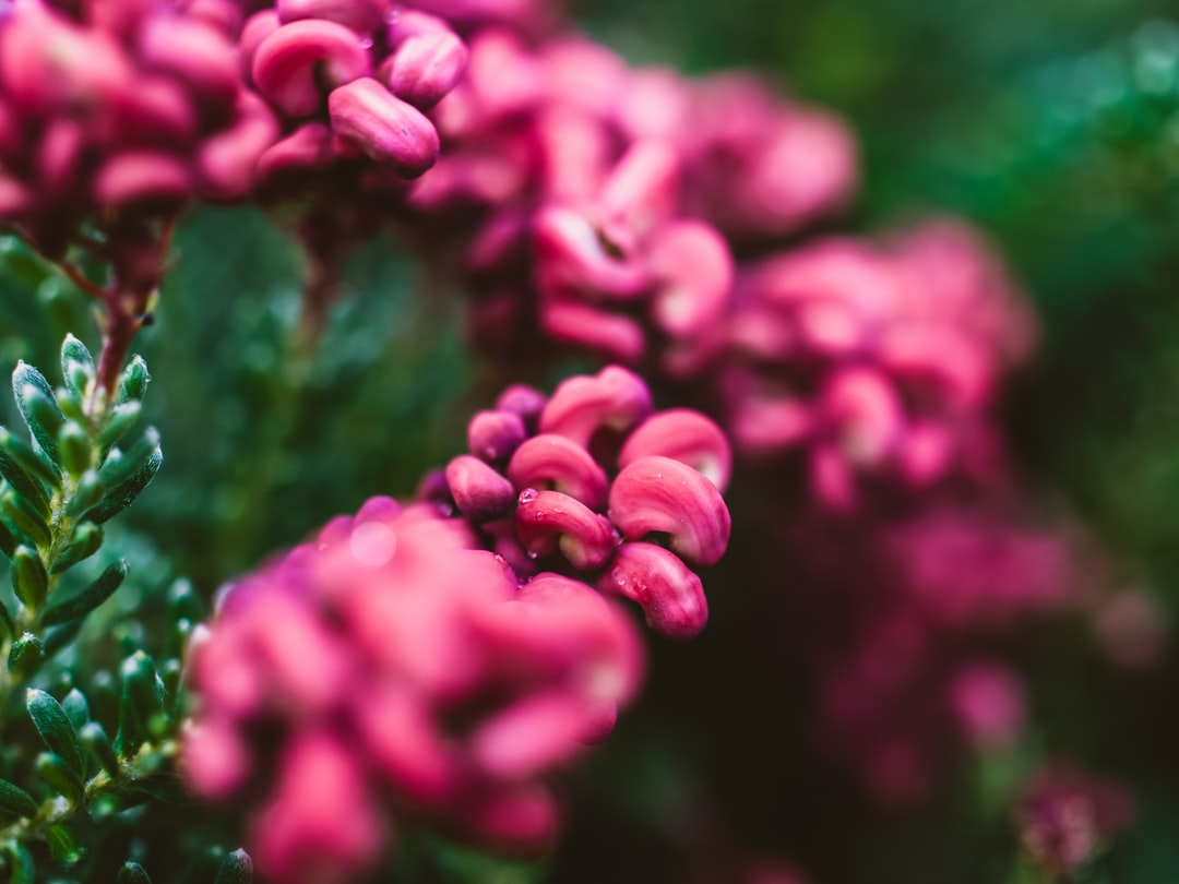 Close up of a Grevillea flower