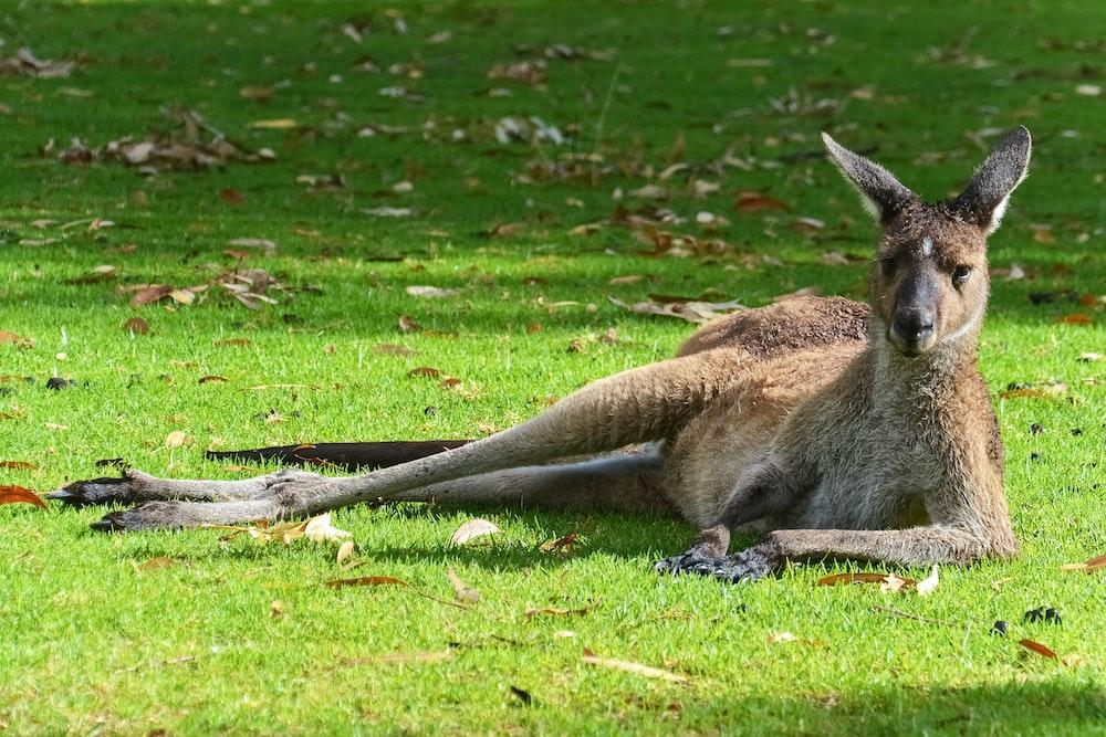 brown kangaroo lying on green grass field during daytime