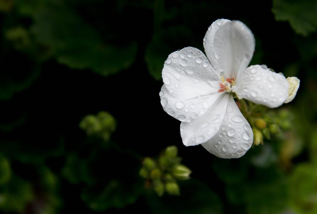 White pelargonium flower