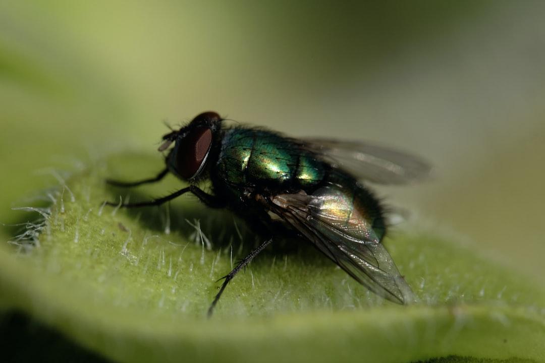 A greenbottle fly resting on  a leaf