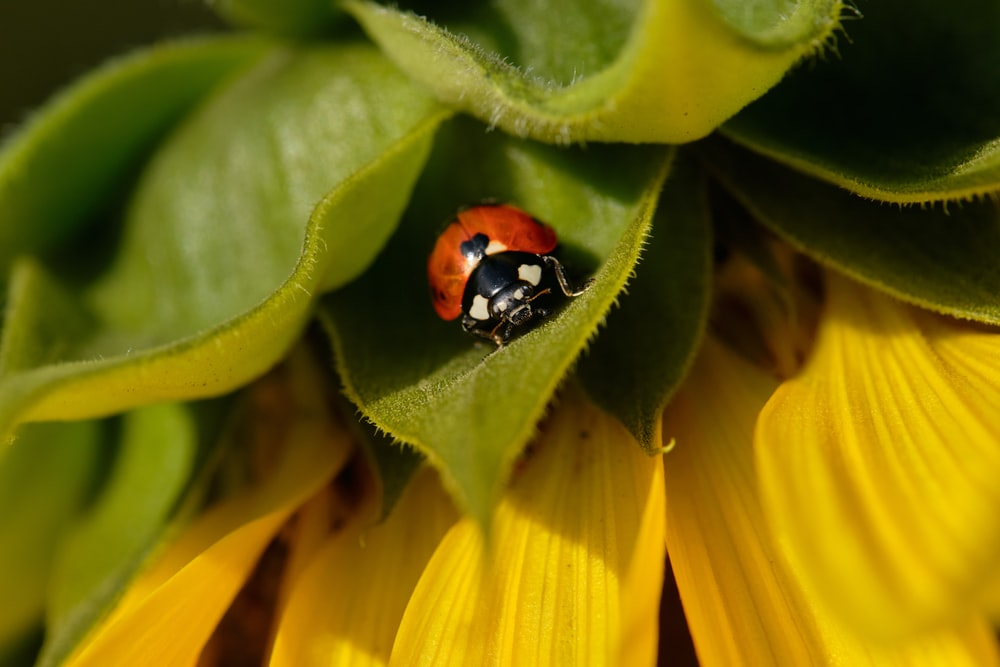 red and black ladybug on yellow flower