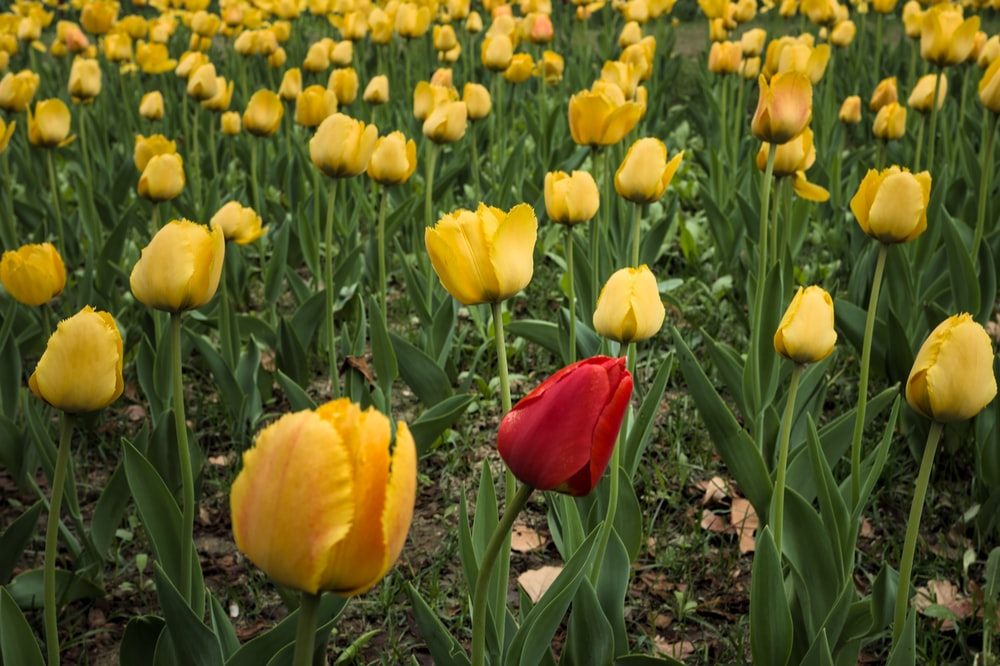 red tulips on yellow tulips field