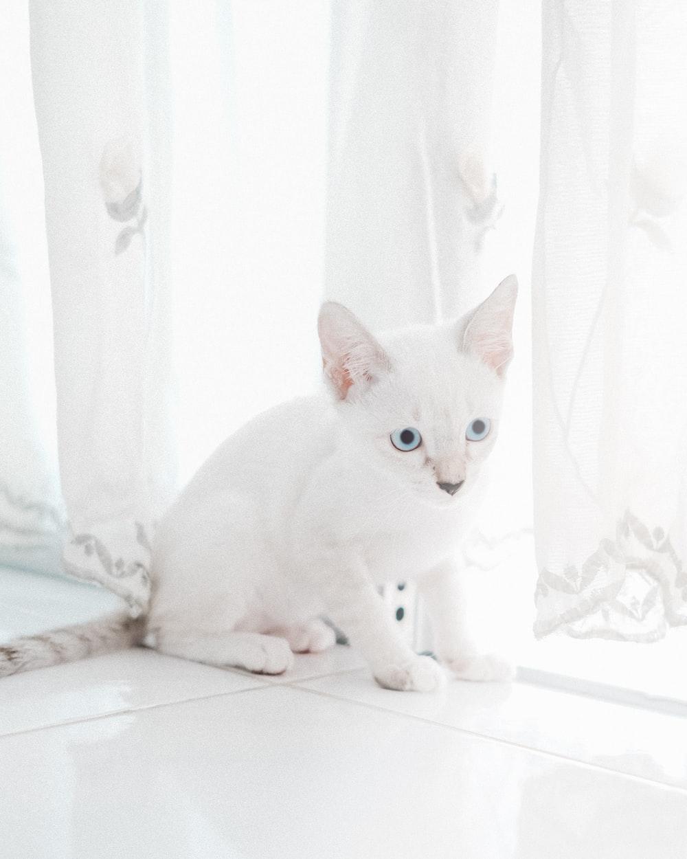 white cat on white window curtain