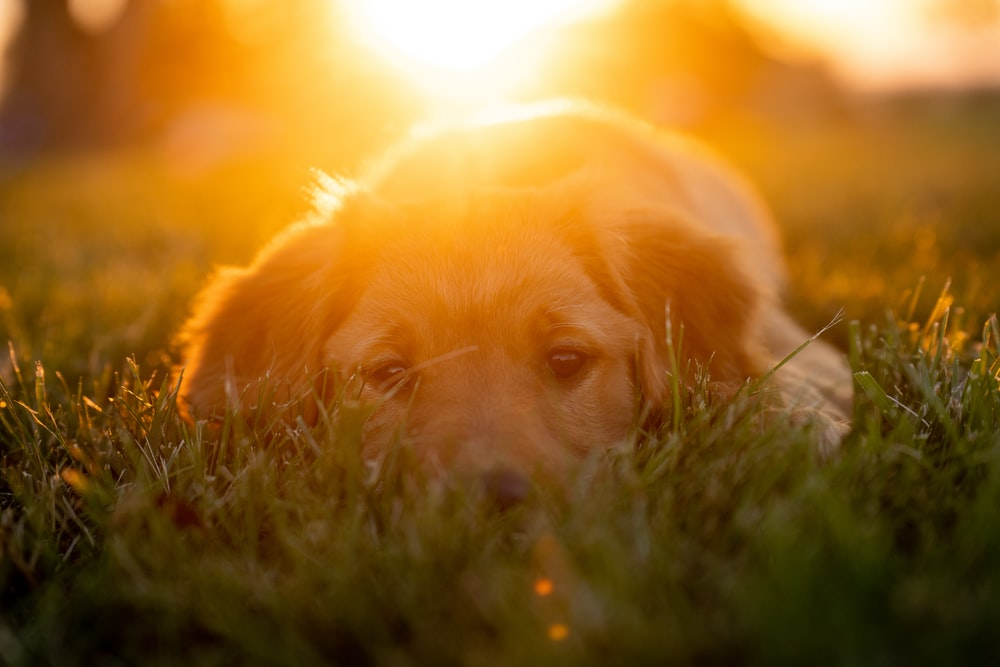 golden retriever puppy lying on green grass during daytime