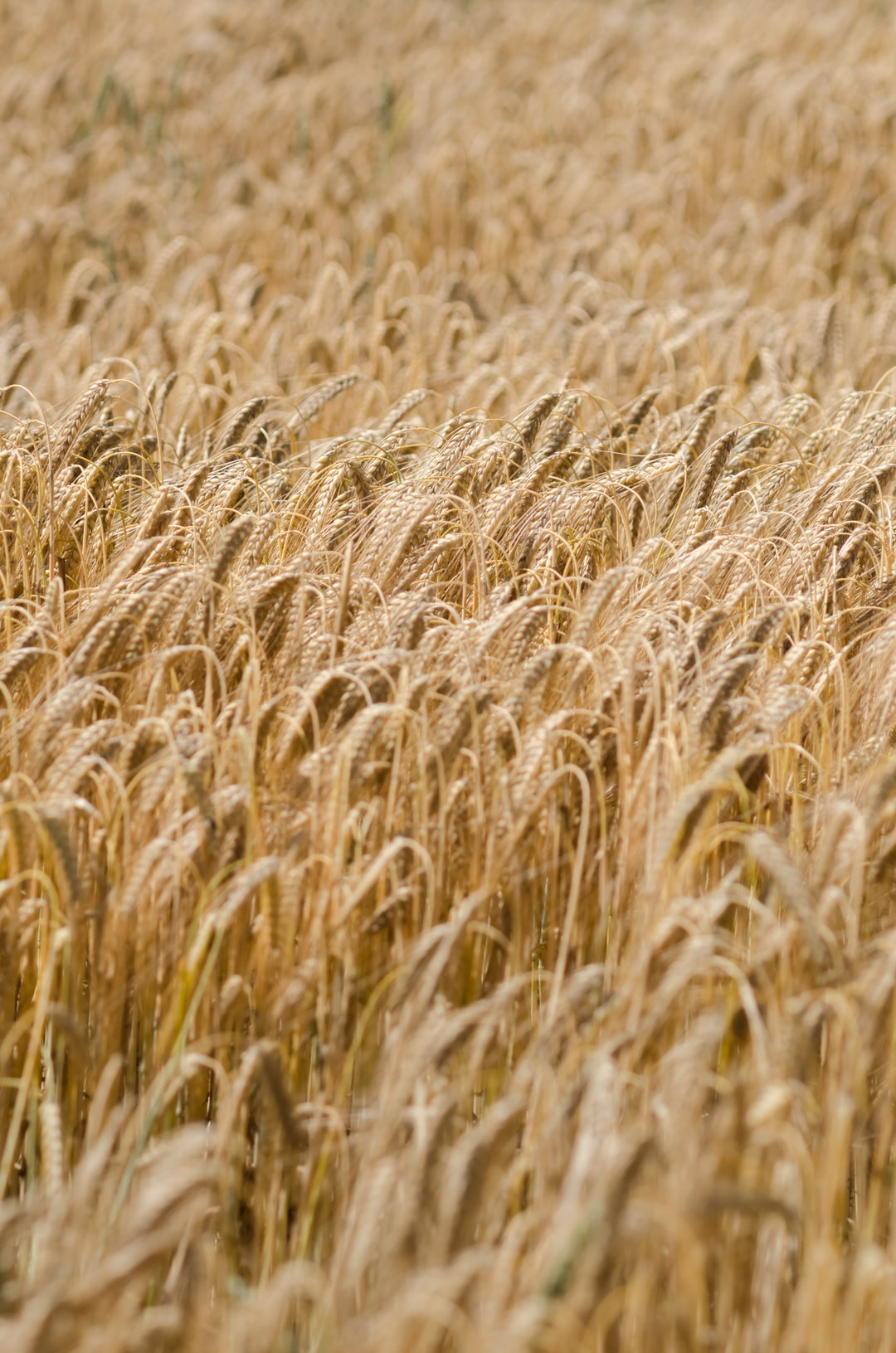 Golden rye field in the countryside