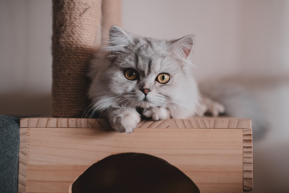 grey and white cat on brown wooden table