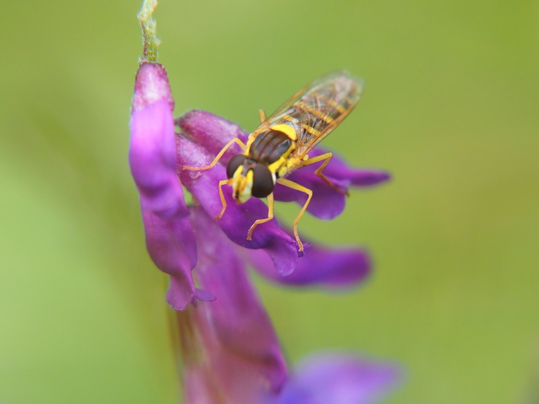 insect , bug, hoverfly, nature, plants, summer, hampshire, uk