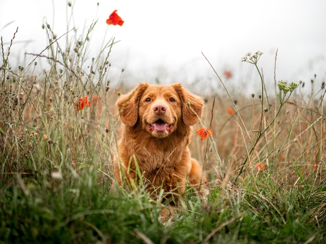 Brown Long Coated Dog On Green Grass Field During Daytime - unsplash