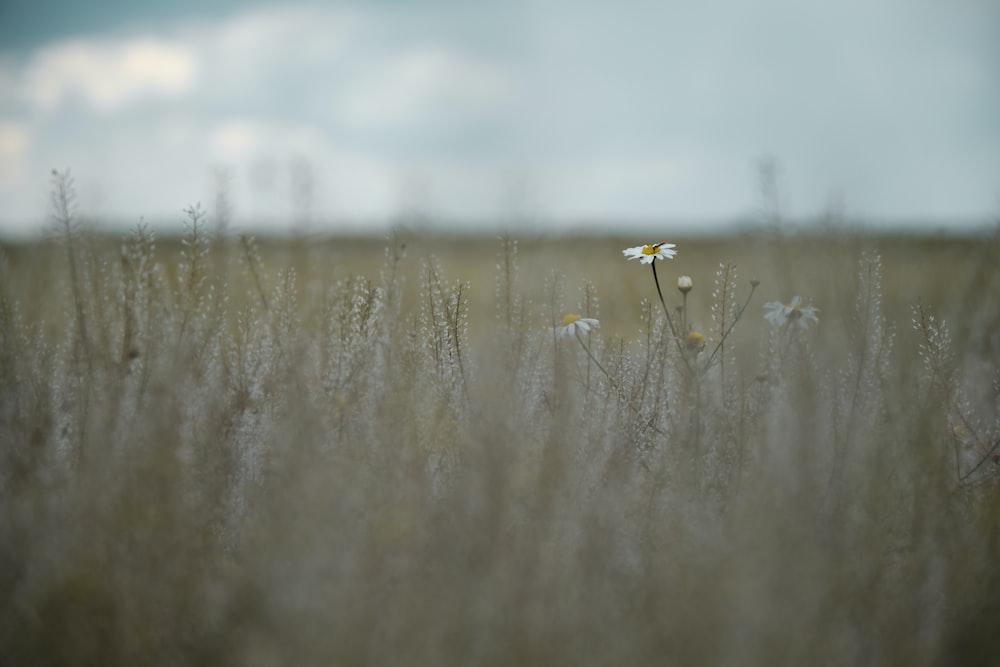 white flower on brown grass field during daytime