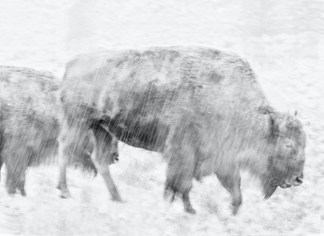 2 bison plod in rainstorm