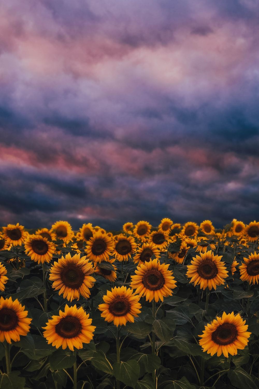 yellow sunflower field under cloudy sky during daytime