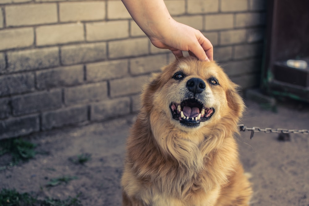person holding brown long coated dog