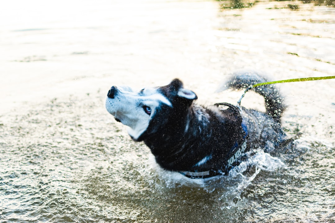 Siberian Husky shaking his fur since he just came out of the water.