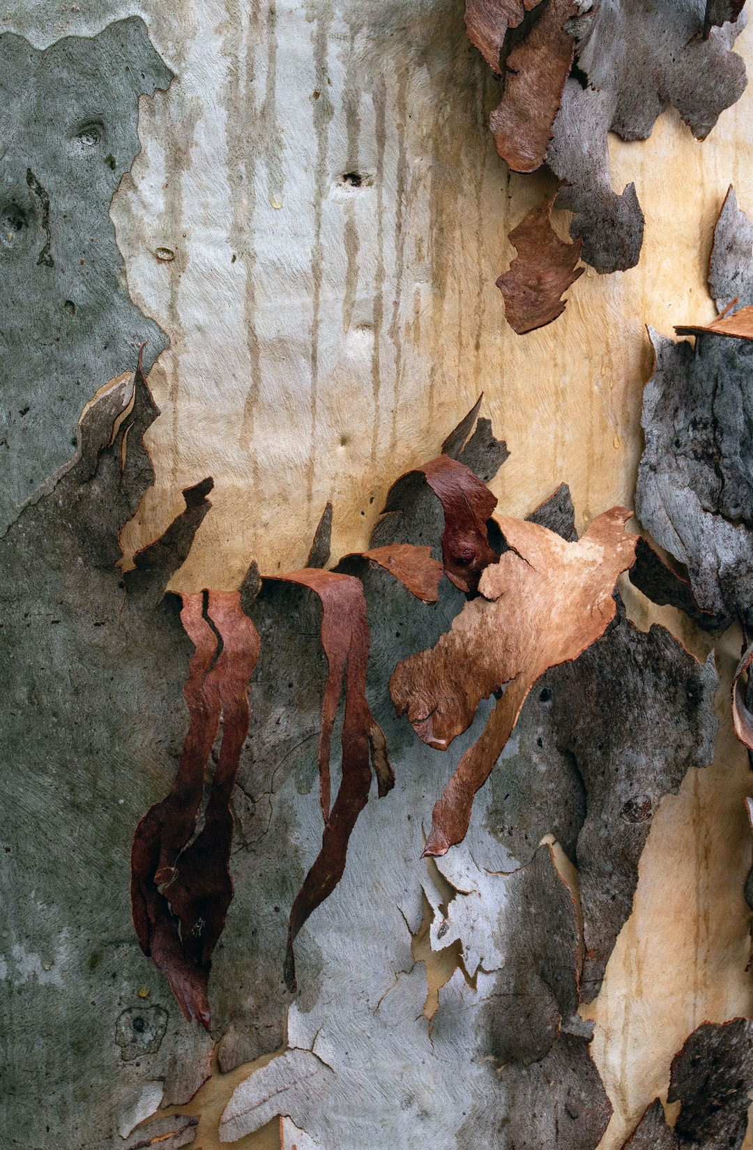 The bark of a Poplar gum Eucalyptus platyphylla photographed on a rainy day.