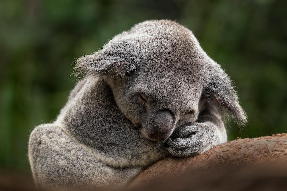 koala bear on brown wooden log during daytime