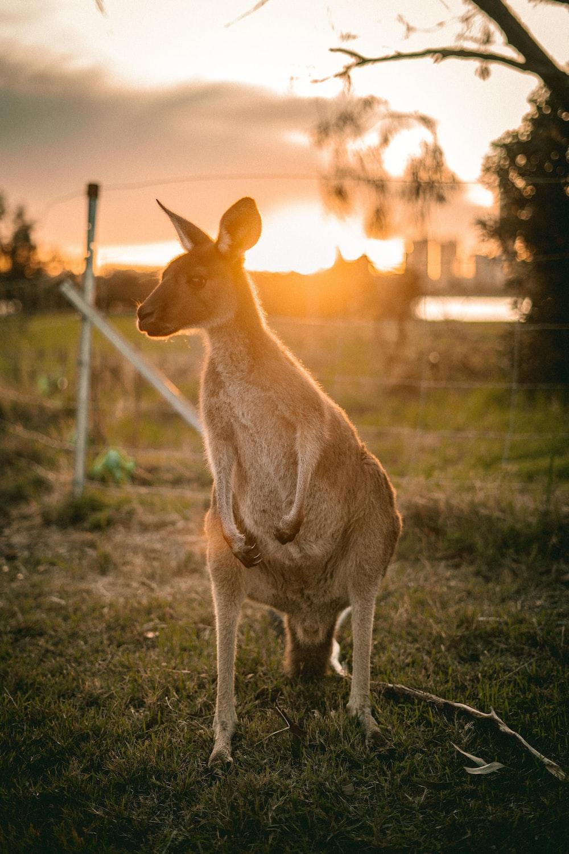 brown kangaroo sitting on ground during sunset