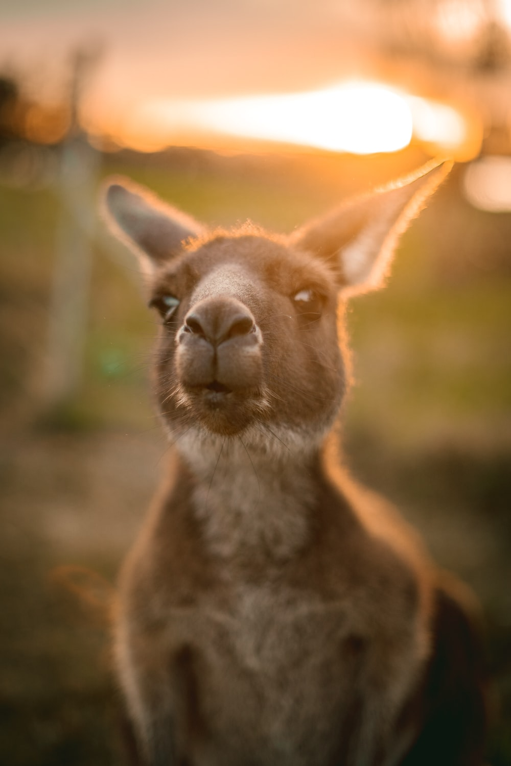 brown and white kangaroo in close up photography during daytime