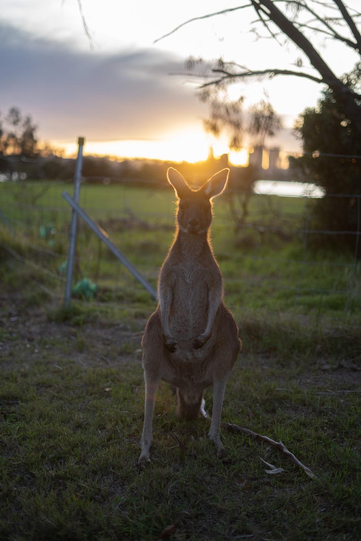 brown kangaroo sitting on green grass field during sunset