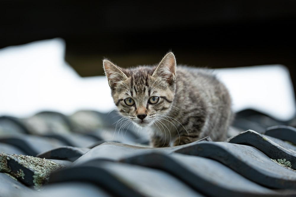 silver tabby cat on black and white textile