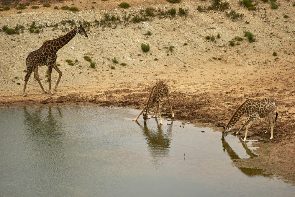 giraffe drinking water on lake during daytime