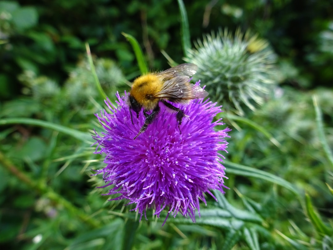 A bumblebee gathering pollen from the purple flower of a thistle. Centrally placed on a blurred green background.