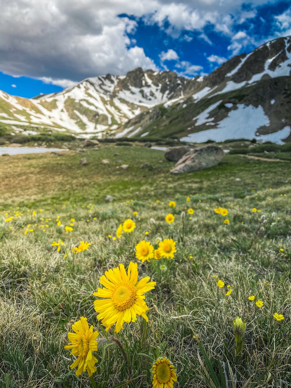 yellow flowers on green grass field near snow covered mountain during daytime