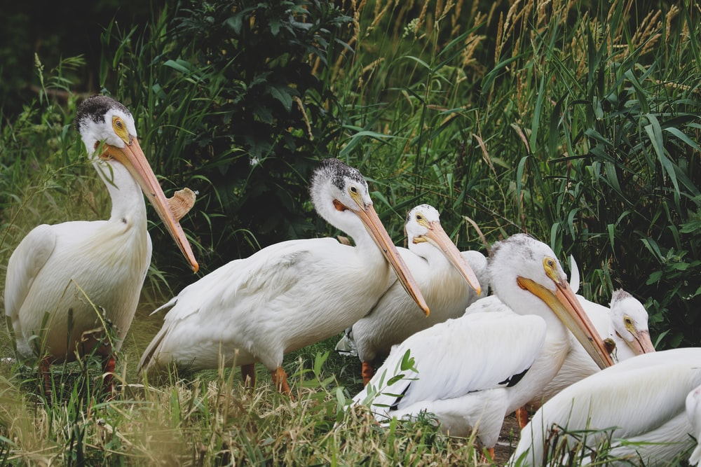 white pelican on green grass during daytime