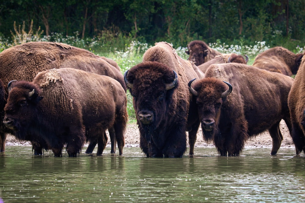 brown bison on green grass field during daytime