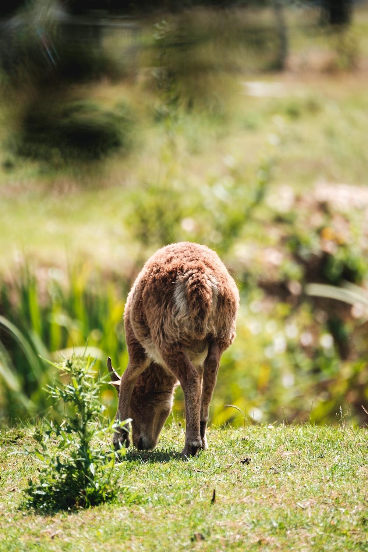 brown animal on green grass during daytime