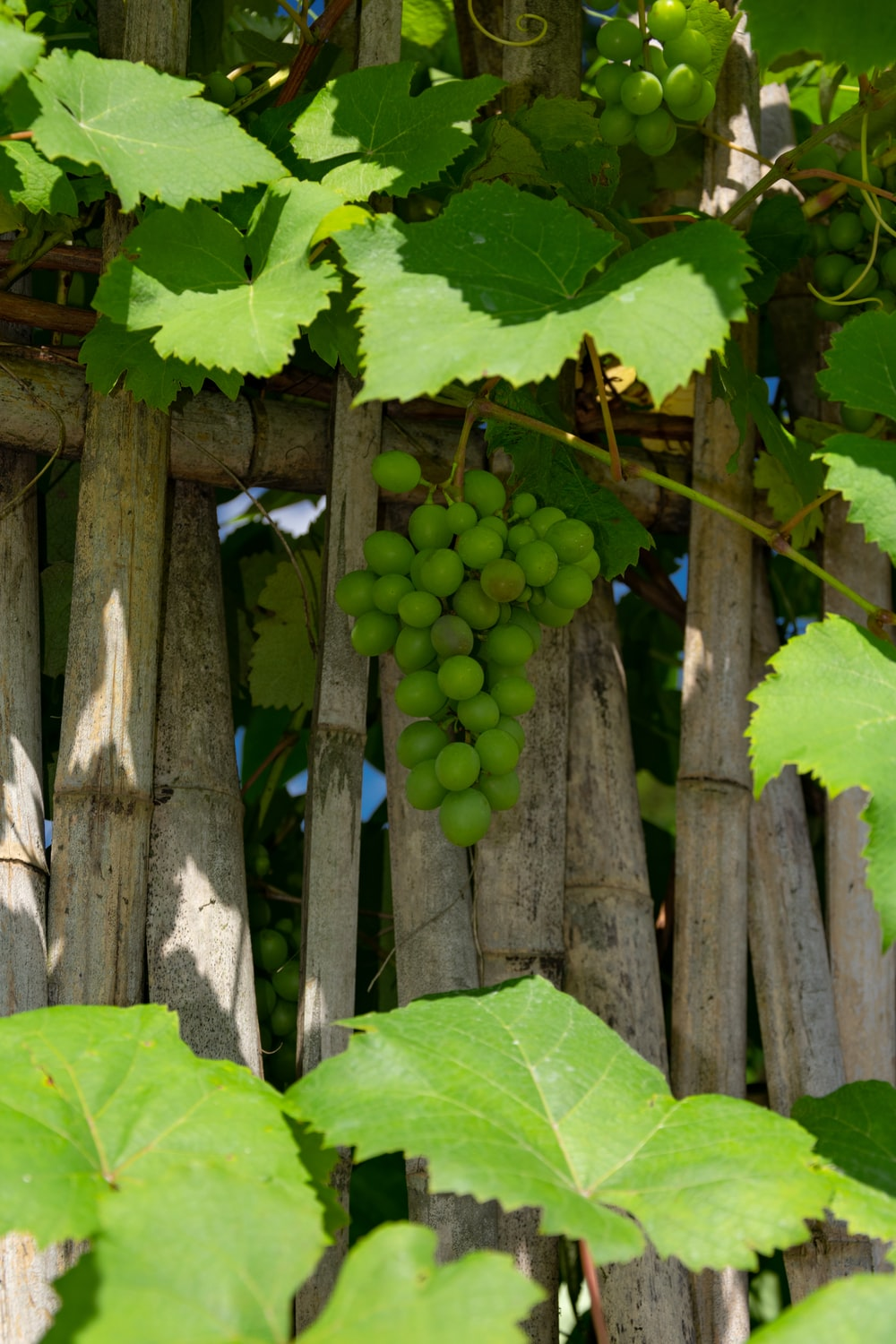 green grapes on brown wooden fence