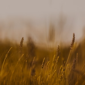 brown wheat field during daytime