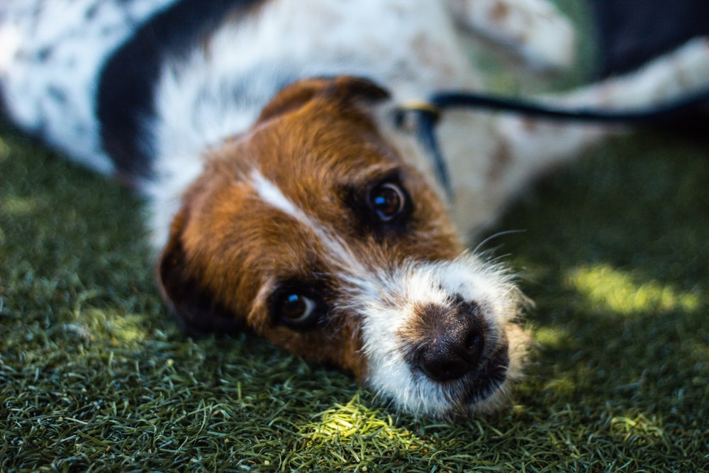 white and brown short coated dog on green grass during daytime