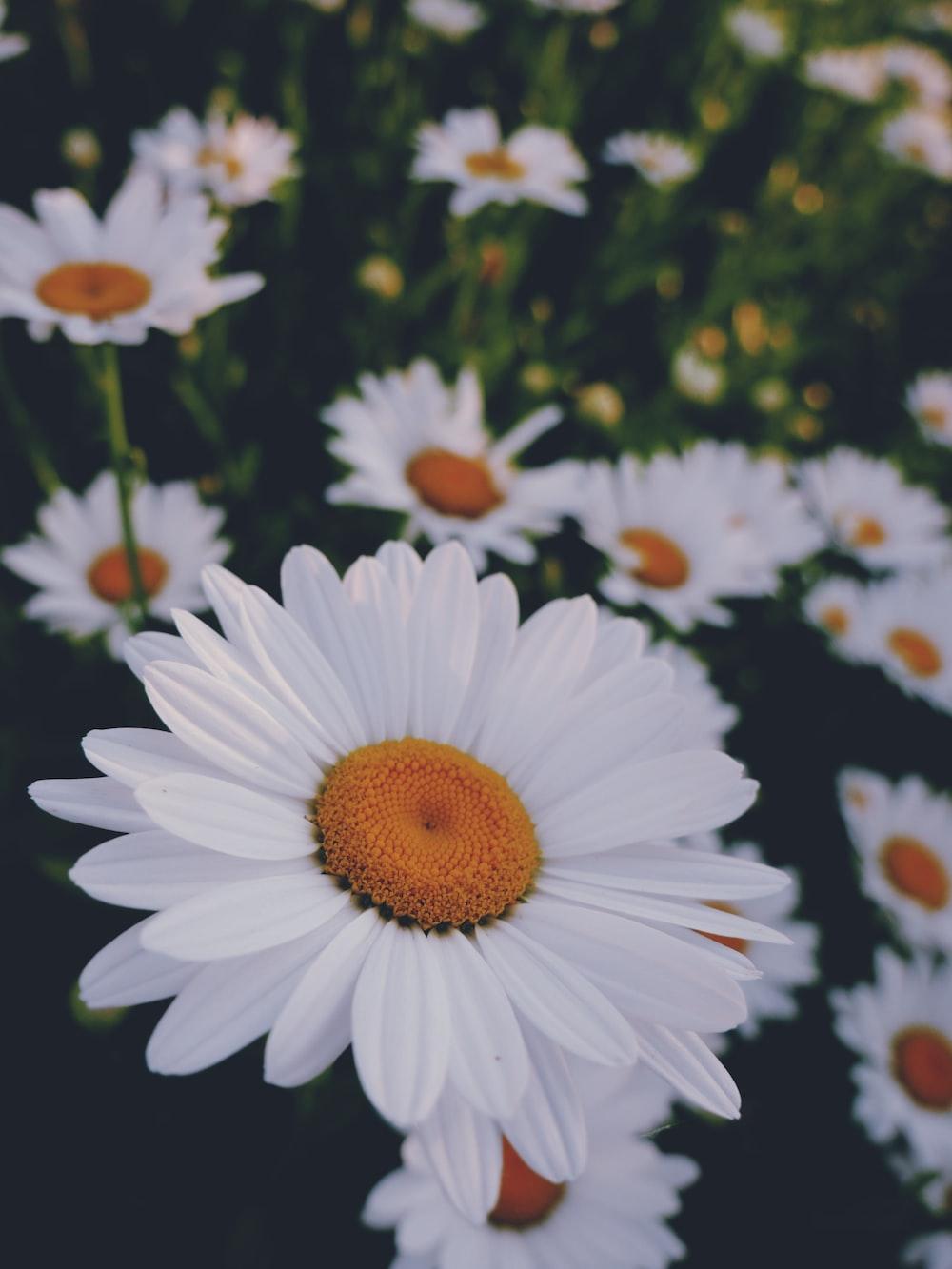 white daisy flower in bloom during daytime