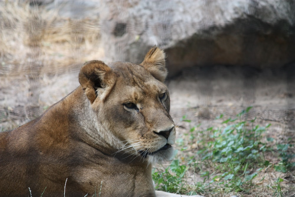 brown lioness lying on green grass during daytime