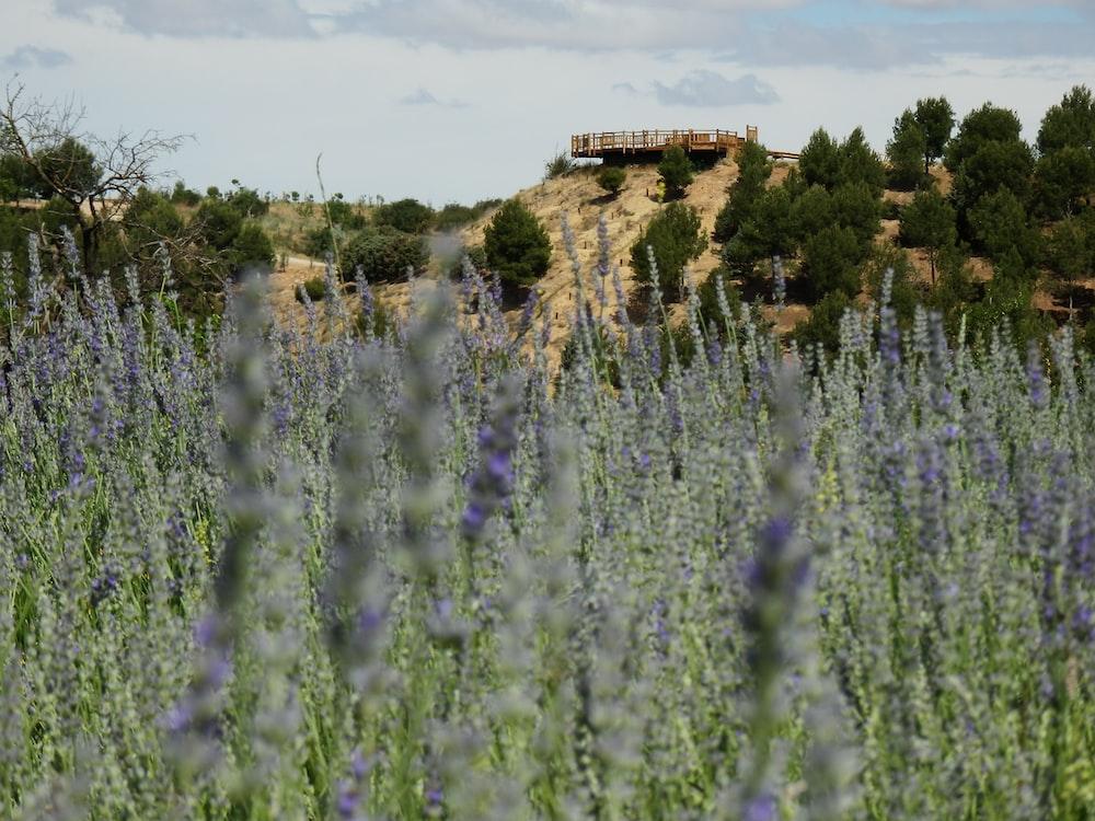 purple flower field during daytime