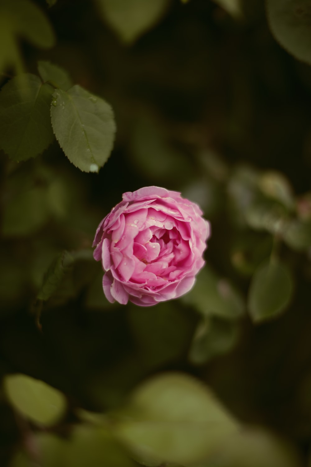 pink rose in bloom during daytime