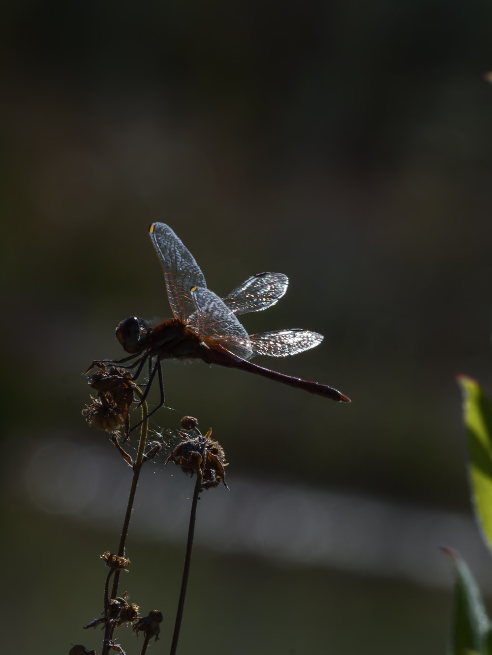brown and white dragonfly perched on brown stem in close up photography during daytime