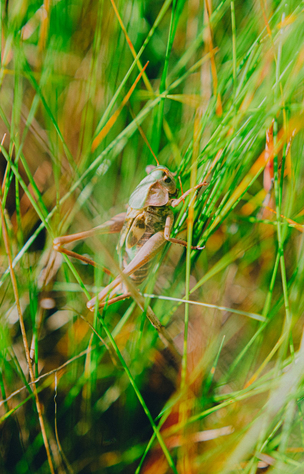 brown grasshopper perched on green grass in close up photography during daytime