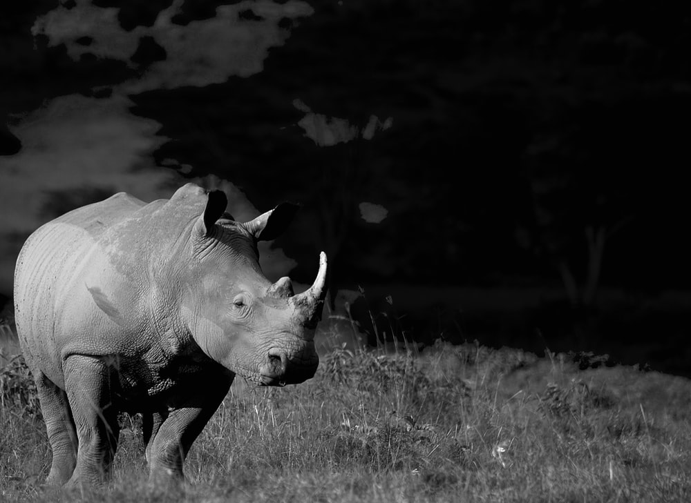 grayscale photo of cow on grass field