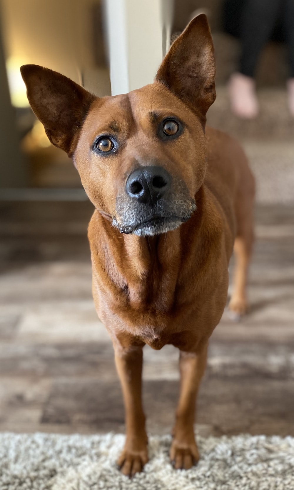 brown short coated dog on gray concrete floor