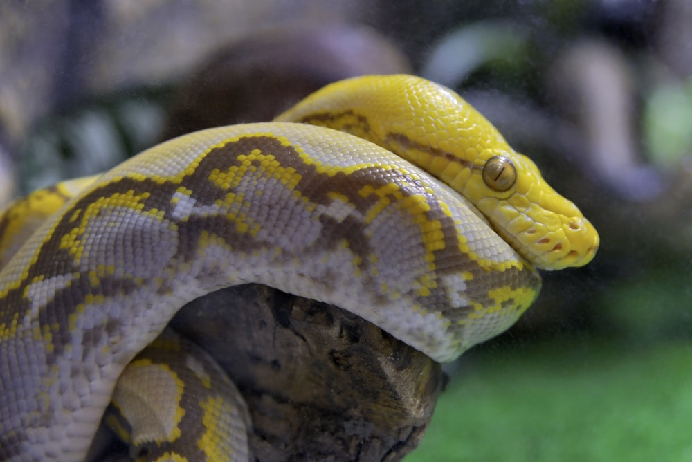 yellow and white snake on brown tree branch