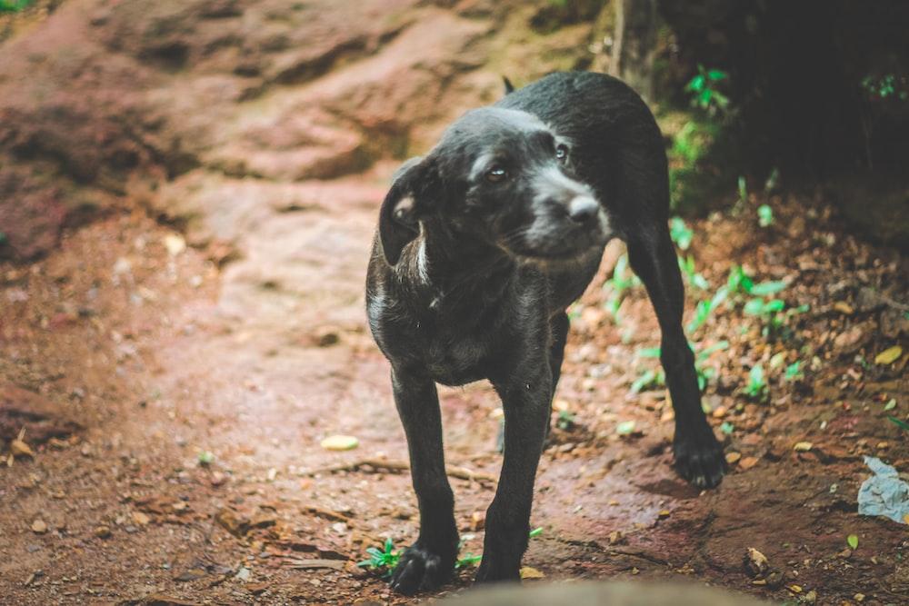 black short coat medium sized dog