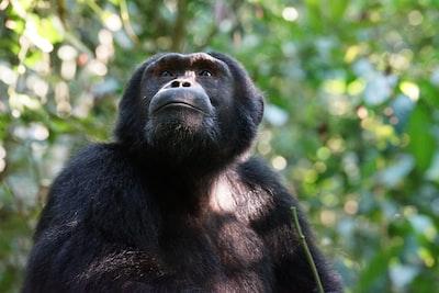 black monkey on green tree during daytime uganda teams background
