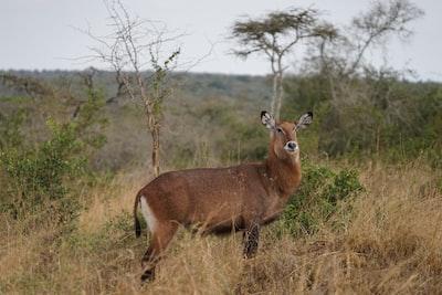 brown deer on brown grass field during daytime uganda zoom background