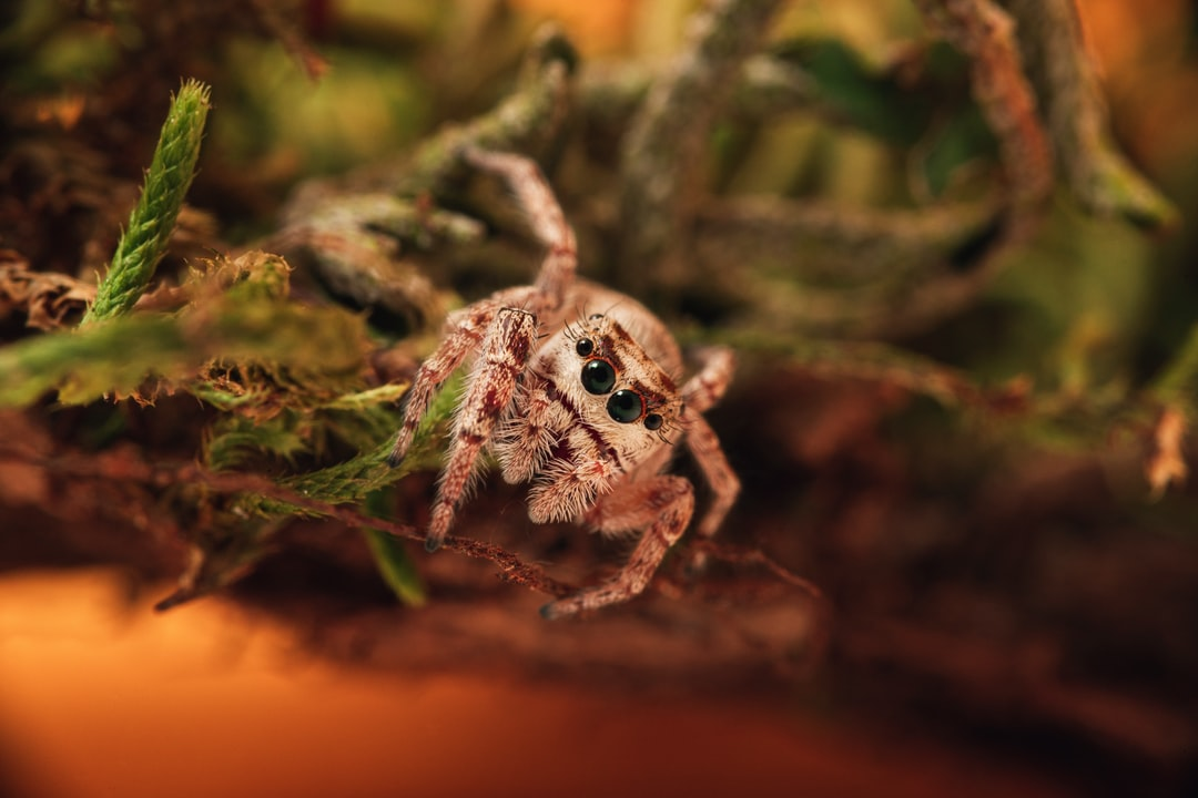 A jumping spider posing on some moss against a yellow-orange background.