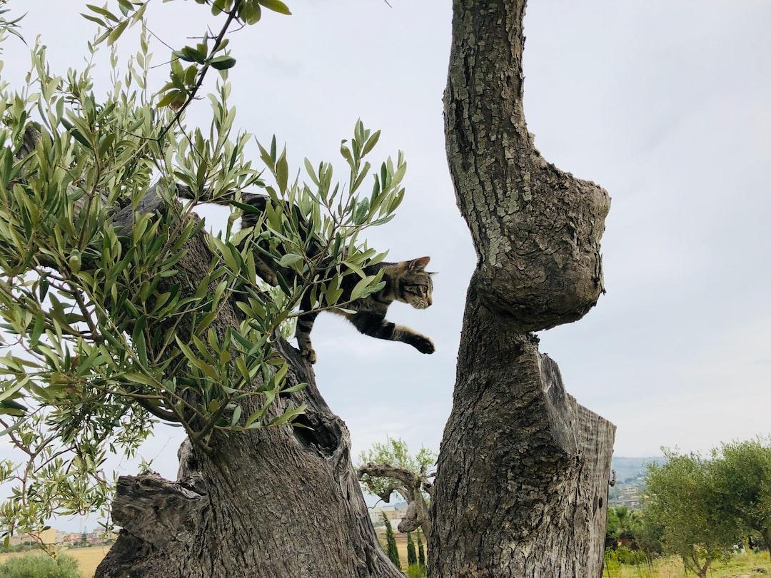 Cat in Olive tree